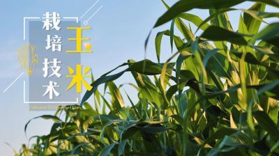 玉米栽培技术
